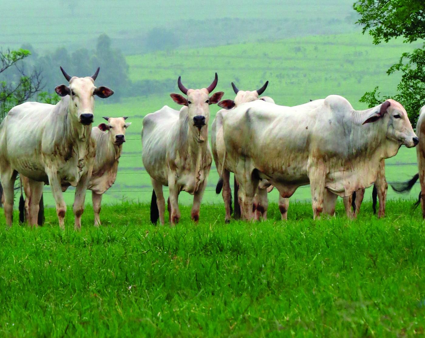 Preços do boi quebram recordes em novembro com oferta escassa – O ...